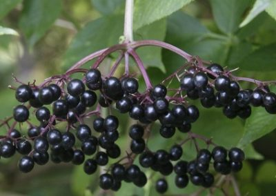 Mało znane rośliny owocowe-część 2