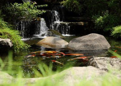 Dlaczego amur jest zmorą oczka wodnego