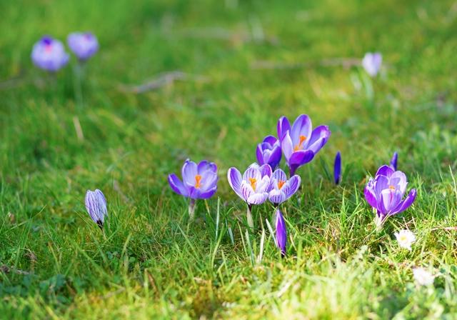 Kwiaty cebulowe w trawniku. Tak czy nie?