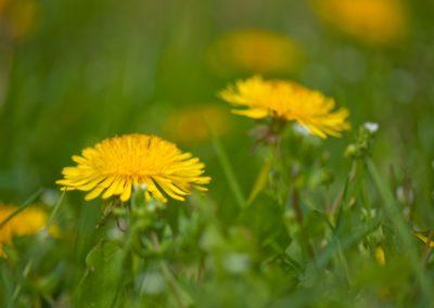 Mniszek czy mlecz – jak usuwać z trawnika