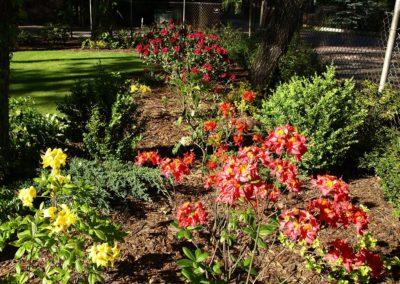 Pielęgnacja różaneczników i azalii