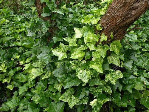 Rośliny zadarniające i okrywowe (część 2)