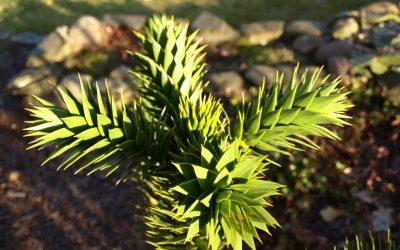 Rzadko spotykane zimozielone rośliny liściaste